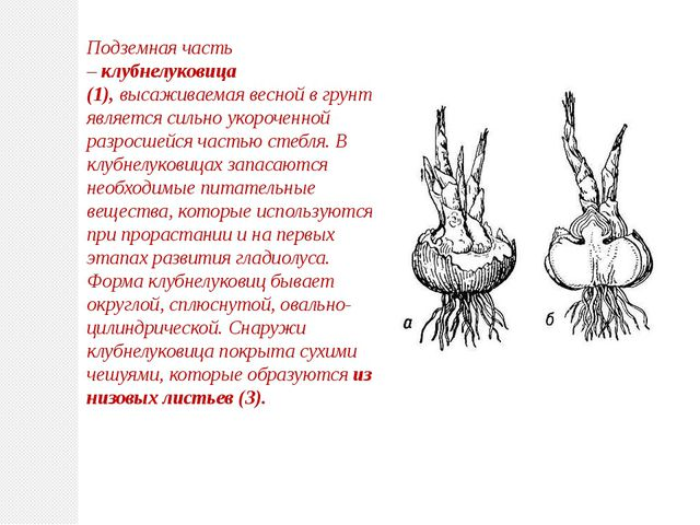 Подземная часть –клубнелуковица (1),высаживаемая весной в грунт, является с...