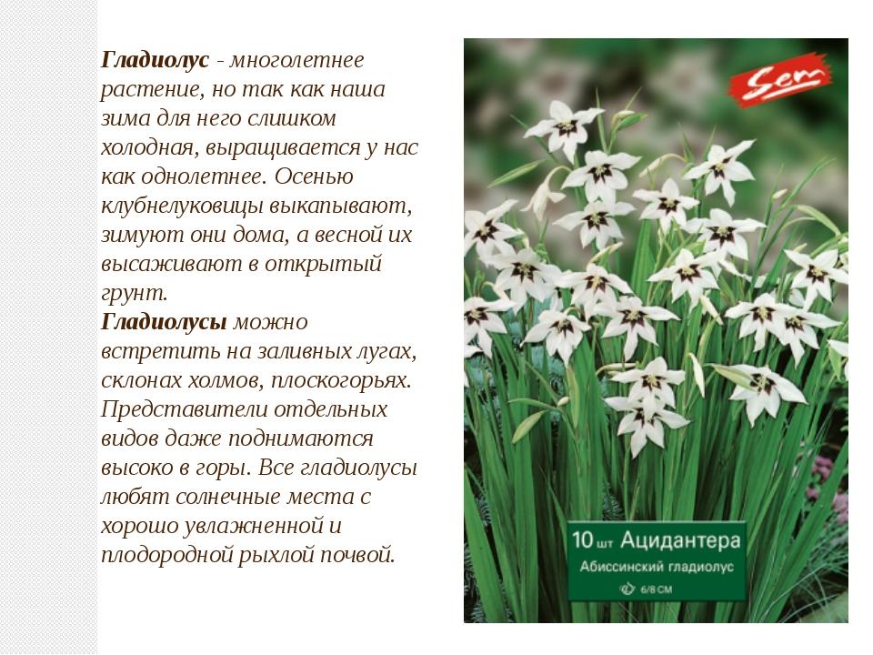 Гладиолус- многолетнее растение, но так как наша зима для него слишком холод...
