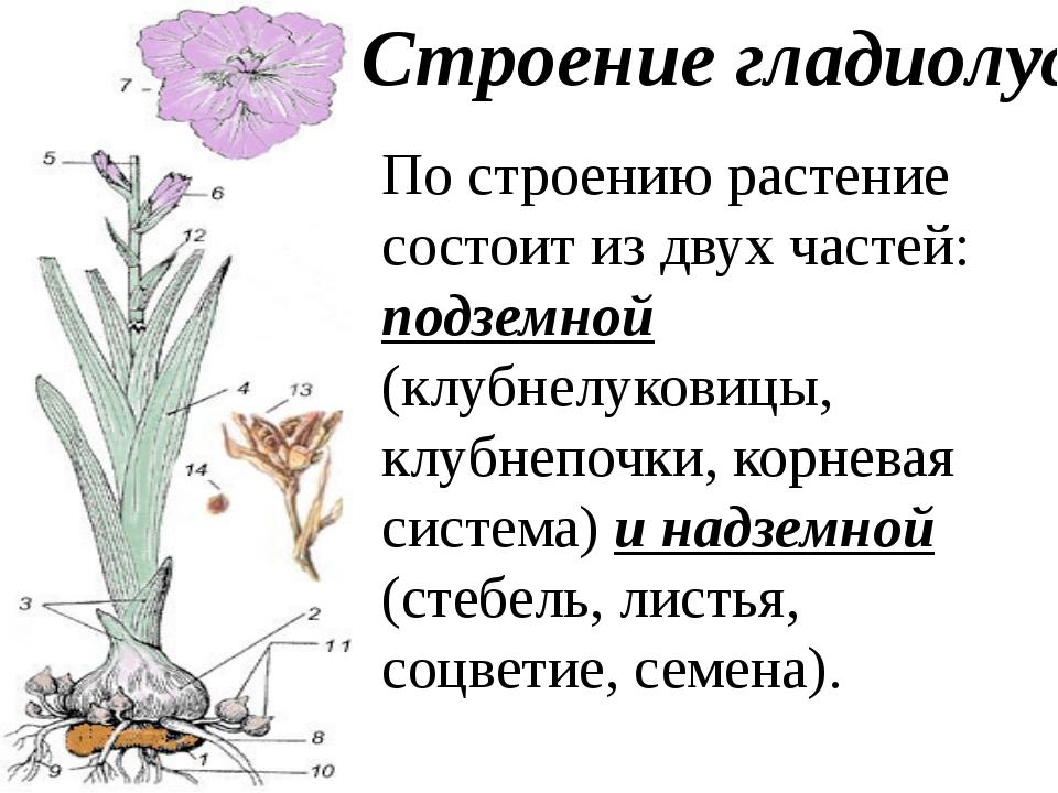 Строение гладиолуса По строению растение состоит из двух частей: подземной (к...