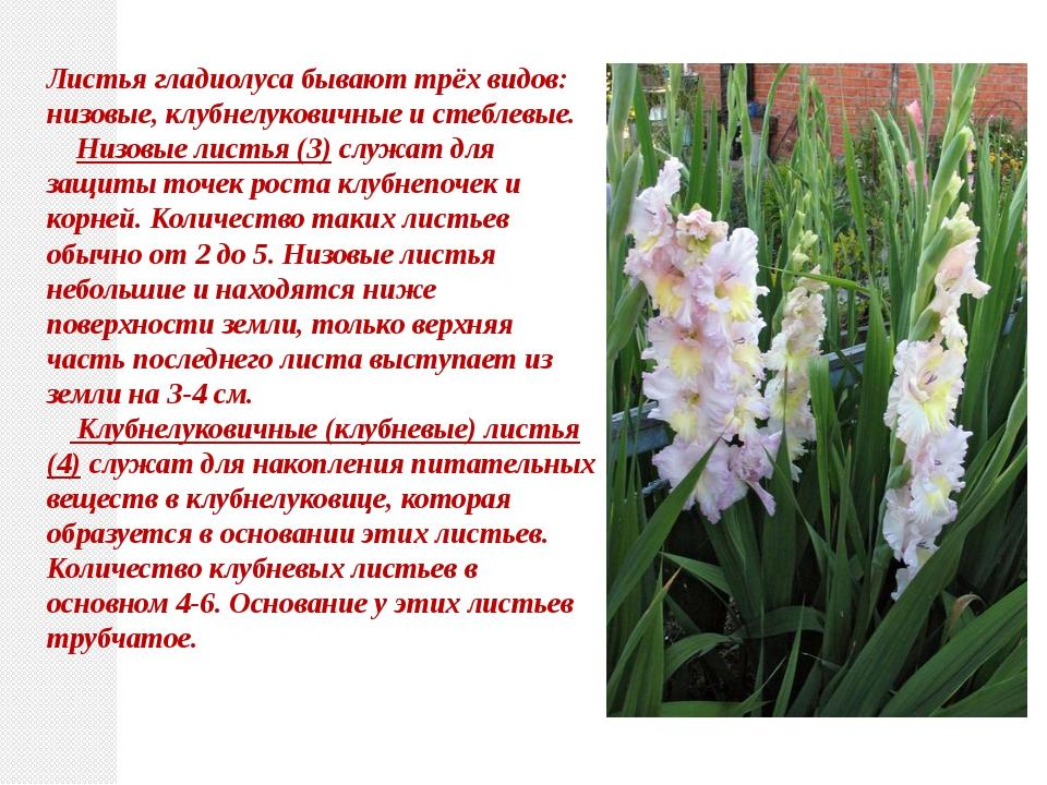 Листьягладиолуса бывают трёх видов: низовые, клубнелуковичные и стеблевые....