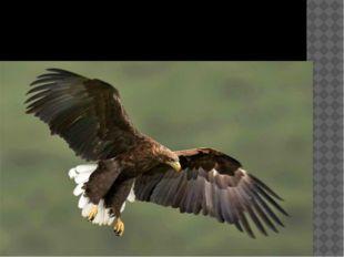 Птица года 2013 - орлан –белохвост