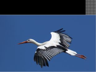 Птица года 2004 г. – белый аист