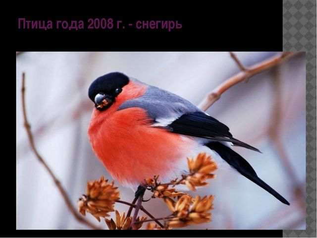 Птица года 2008 г. - снегирь