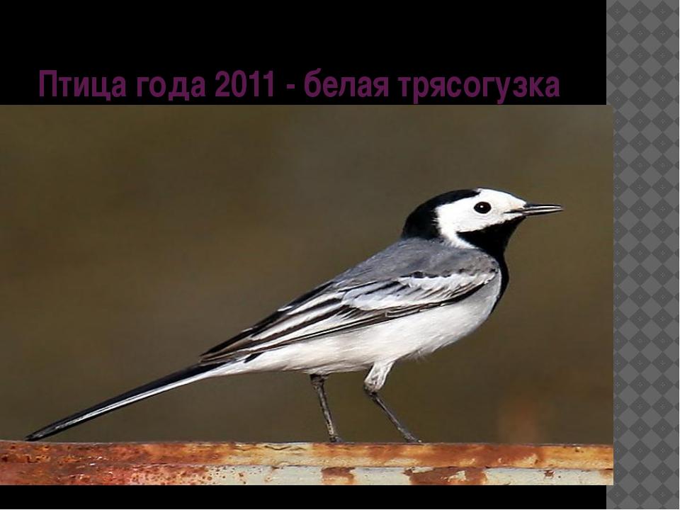 Птица года 2011 - белая трясогузка