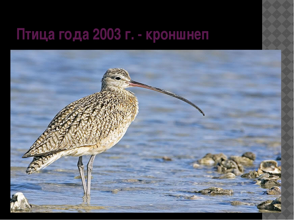 Птица года 2003 г. - кроншнеп