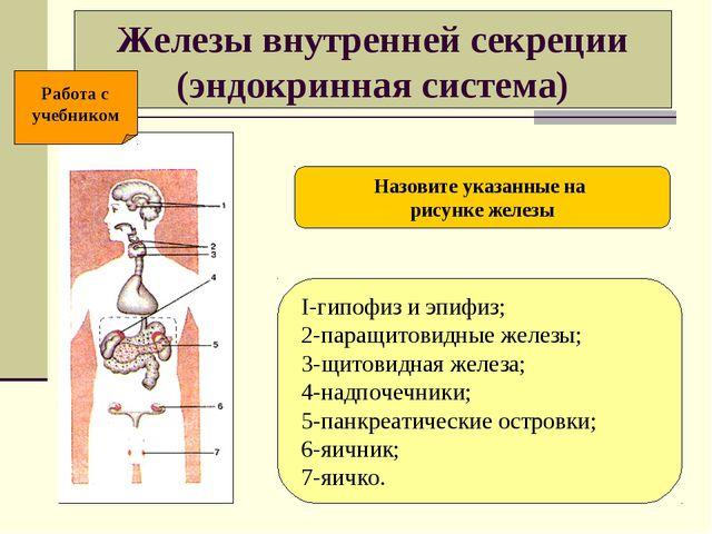 Железы внутренней секреции (эндокринная система) I-гипофиз и эпифиз; 2-паращи...