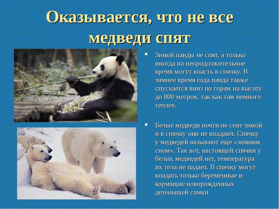 Оказывается, что не все медведи спят Зимой панды не спят, а только иногда на...