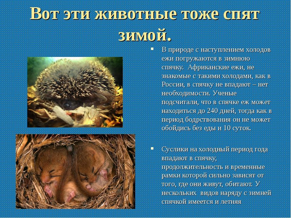 Вот эти животные тоже спят зимой. В природе с наступлением холодов ежи погруж...