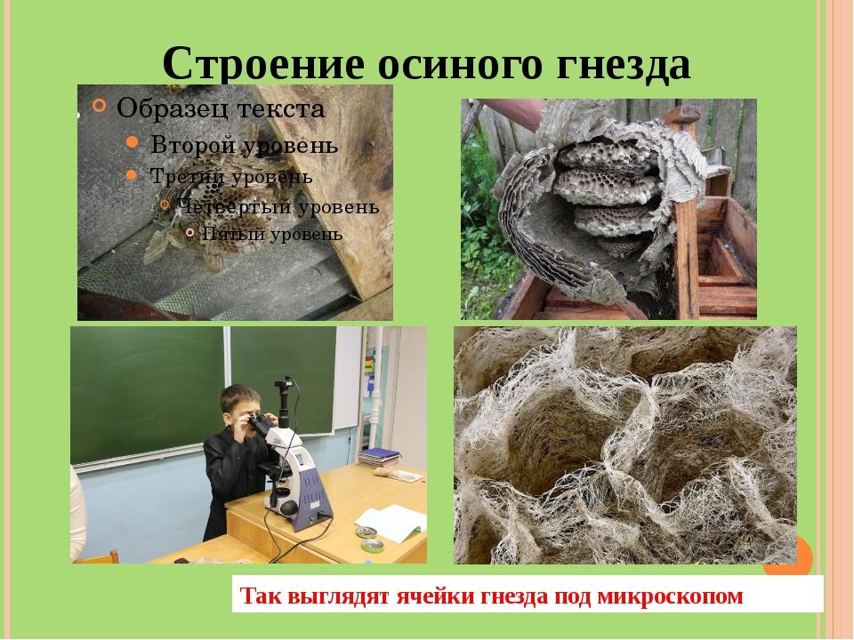 Строение осиного гнезда Так выглядят ячейки гнезда под микроскопом