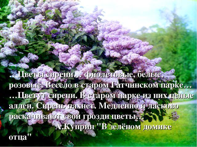 …Цветы сирени… фиолетовые, белые, розовые. Весело в старом Гатчинском парке…...