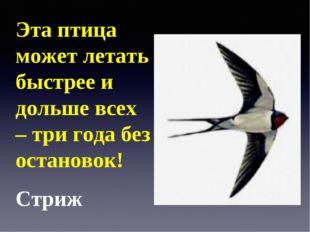 Эта птица может летать быстрее и дольше всех – три года без остановок! Стриж