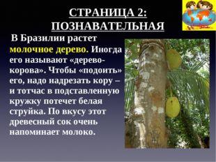 СТРАНИЦА 2: ПОЗНАВАТЕЛЬНАЯ В Бразилии растет молочное дерево. Иногда его назы