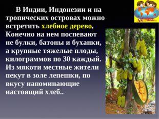 В Индии, Индонезии и на тропических островах можно встретить хлебное дерево,