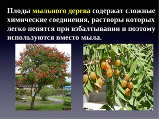 Плоды мыльного дерева содержат сложные химические соединения, растворы которы