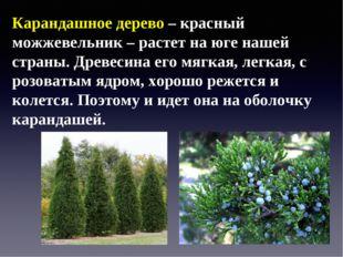 Карандашное дерево – красный можжевельник – растет на юге нашей страны. Древе