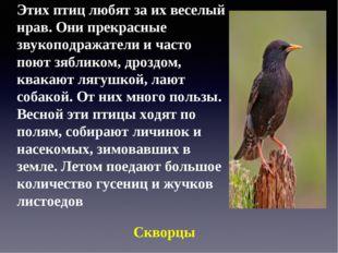 Этих птиц любят за их веселый нрав. Они прекрасные звукоподражатели и часто п