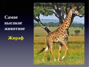 Самое высокое животное Жираф