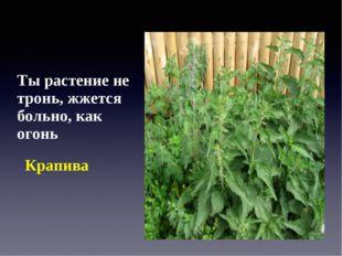 Ты растение не тронь, жжется больно, как огонь Крапива