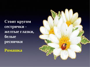 Стоят кругом сестрички - желтые глазки, белые реснички Ромашка