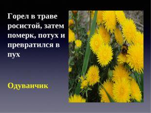 Горел в траве росистой, затем померк, потух и превратился в пух Одуванчик