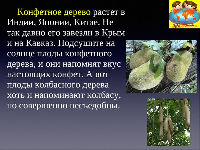 Конфетное дерево растет в Индии, Японии, Китае. Не так давно его завезли в К...