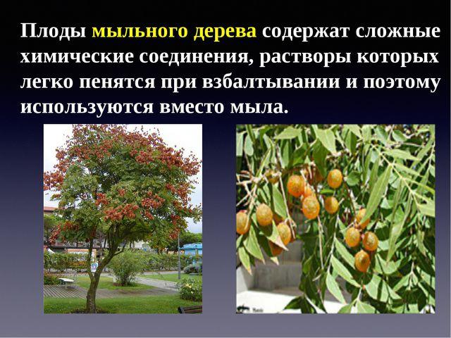 Плоды мыльного дерева содержат сложные химические соединения, растворы которы...