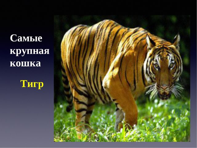 Самые крупная кошка Тигр