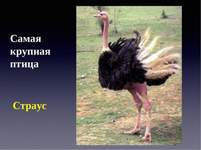 Самая крупная птица Страус