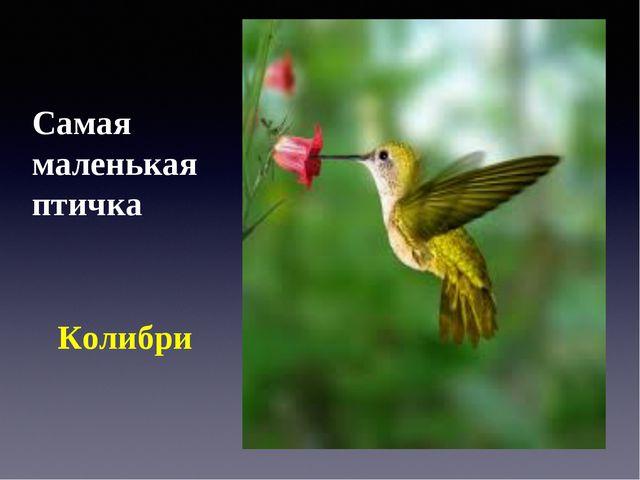 Самая маленькая птичка Колибри