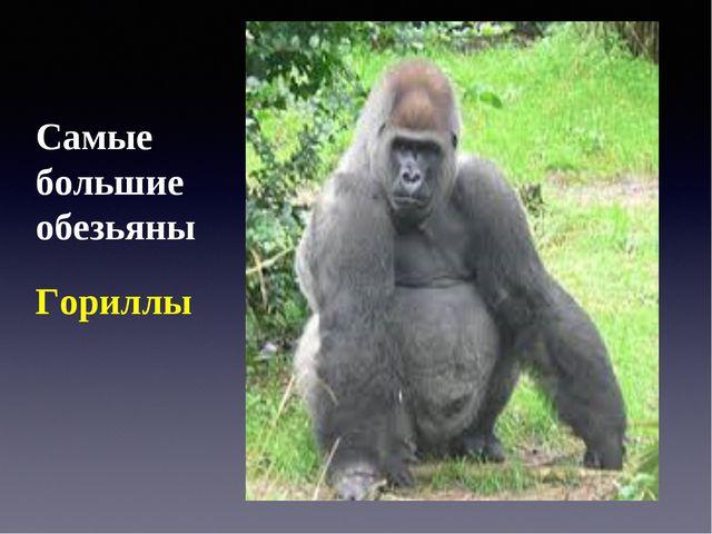 Самые большие обезьяны Гориллы