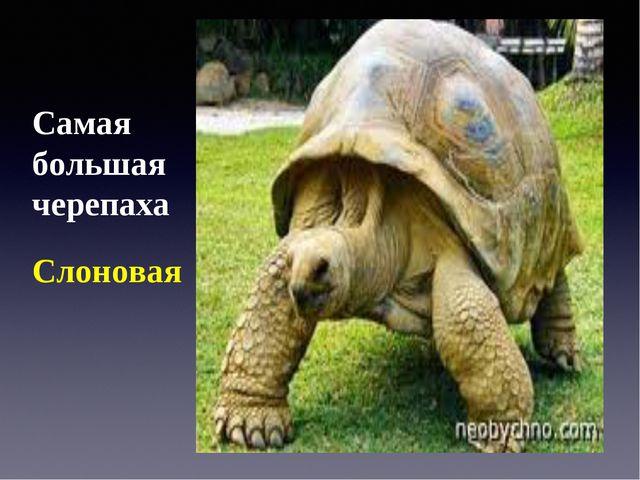 Самая большая черепаха Слоновая