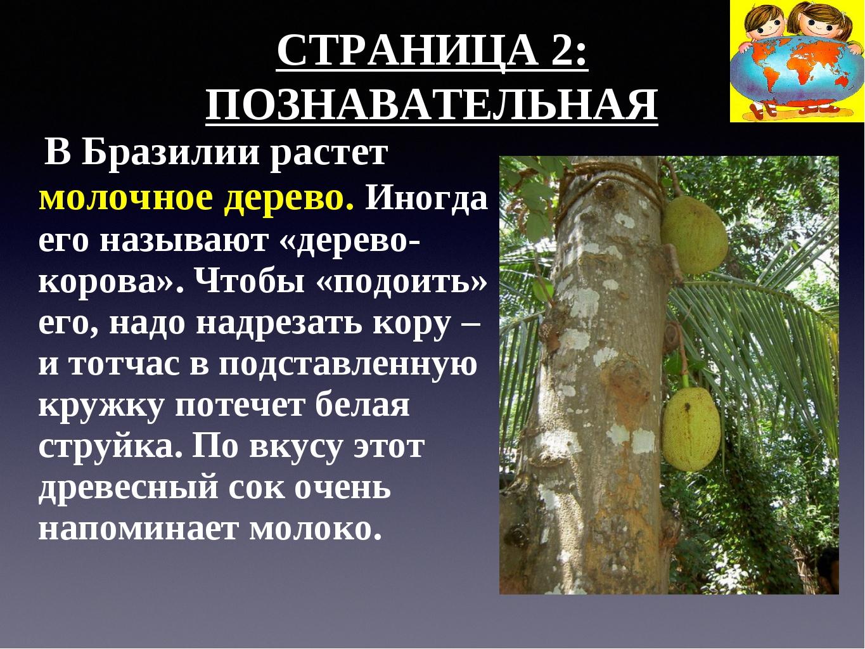СТРАНИЦА 2: ПОЗНАВАТЕЛЬНАЯ В Бразилии растет молочное дерево. Иногда его назы...