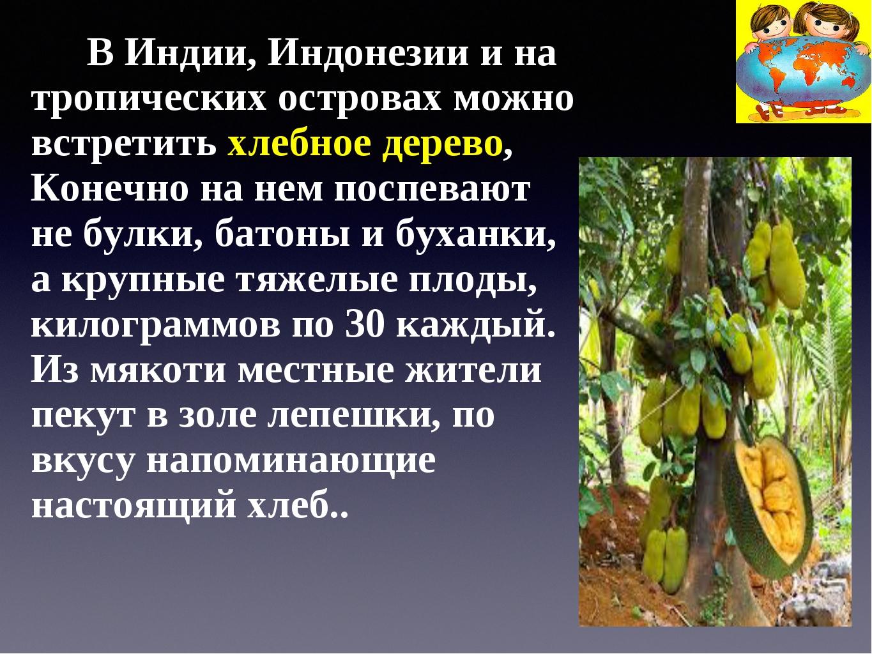 В Индии, Индонезии и на тропических островах можно встретить хлебное дерево,...