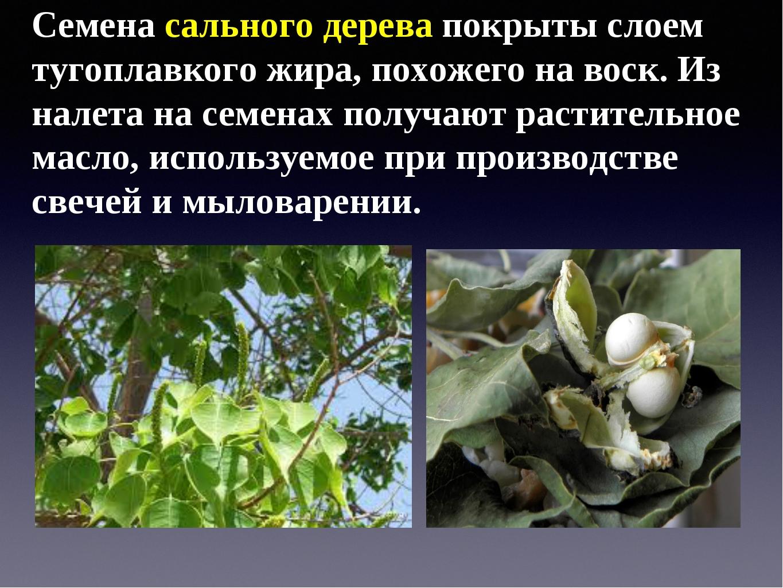 Семена сального дерева покрыты слоем тугоплавкого жира, похожего на воск. Из...