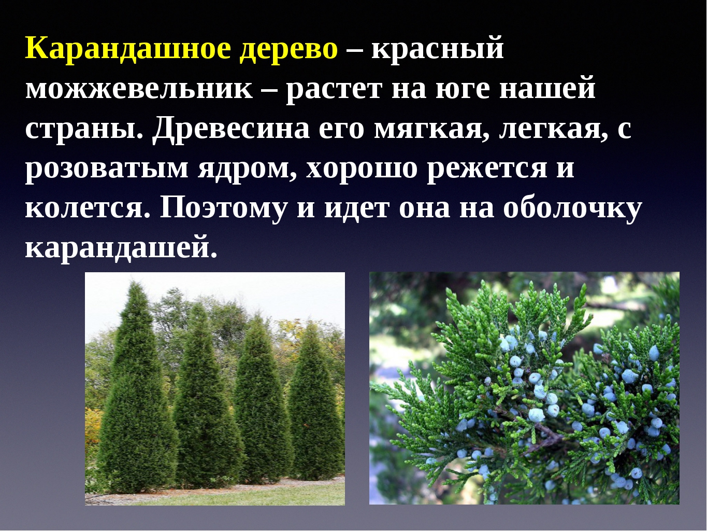 Карандашное дерево – красный можжевельник – растет на юге нашей страны. Древе...