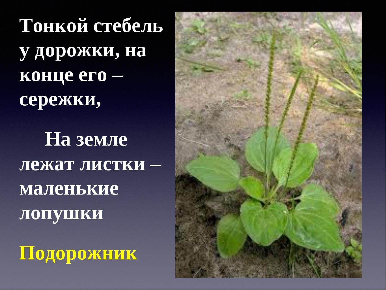 Тонкой стебель у дорожки, на конце его – сережки, На земле лежат листки – мал...