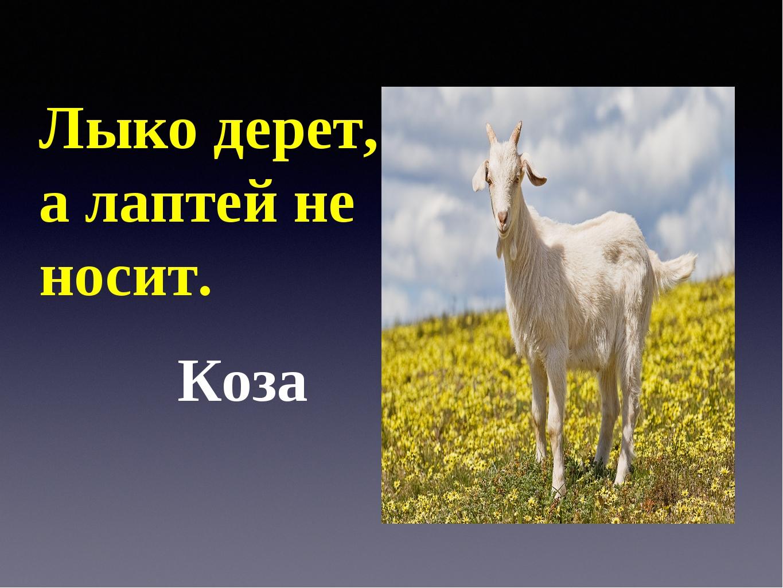 Лыко дерет, а лаптей не носит. Коза