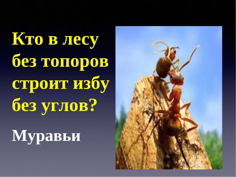 Кто в лесу без топоров строит избу без углов? Муравьи