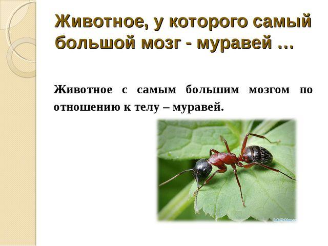 Животное, у которого самый большой мозг - муравей … Животное с самым большим...
