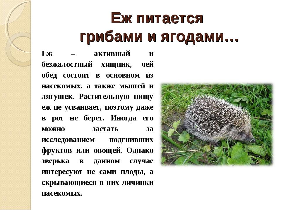 Еж питается грибами и ягодами… Еж – активный и безжалостный хищник, чей обед...