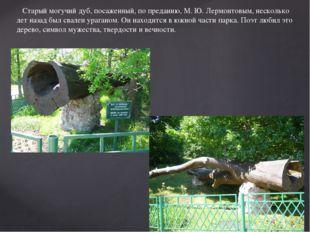 Старый могучий дуб, посаженный, по преданию, М. Ю. Лермонтовым, несколько ле