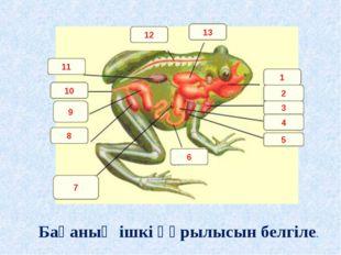 1 2 3 4 5 6 7 8 9 10 11 12 13 Бақаның ішкі құрылысын белгіле.