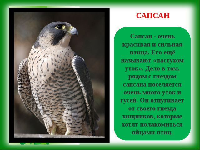 Сапсан - очень красивая и сильная птица. Его ещё называют «пастухом уток». Де...