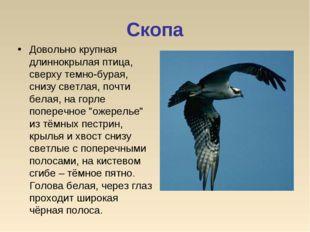 Скопа Довольно крупная длиннокрылая птица, сверху темно-бурая, снизу светлая,