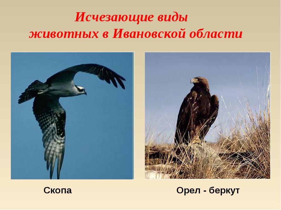Исчезающие виды животных в Ивановской области Скопа Орел - беркут