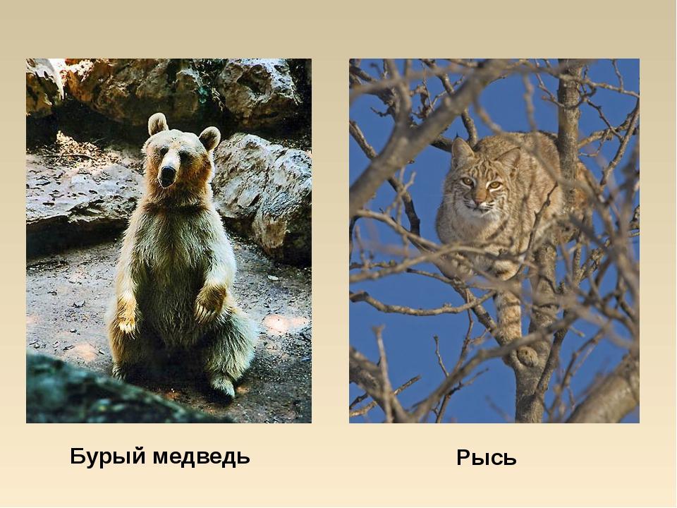 Бурый медведь Рысь