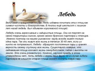 Лебедь Величавая и грациозная птица. Люди издавна почитали этих птиц как симв