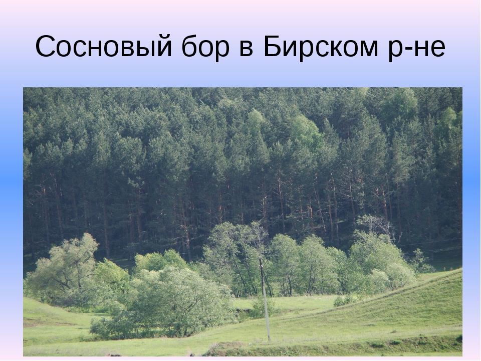 Сосновый бор в Бирском р-не