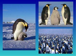 Вантарктиде снег илед, гололед ииней. Несмотря нато, живёт там народ пинг