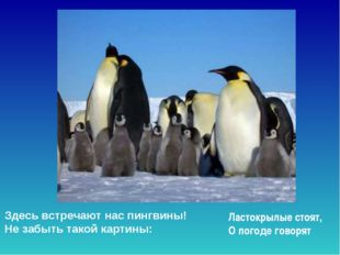 Здесь встречают нас пингвины! Не забыть такой картины: Ластокрылые стоят, О